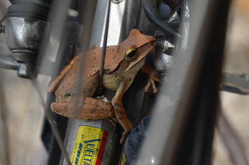 Fahrradfrosch*