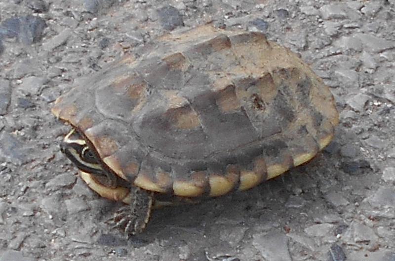 801_Schildkröte