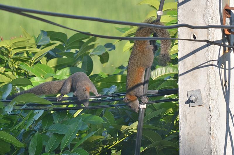 Eichhörnchen_Leitung