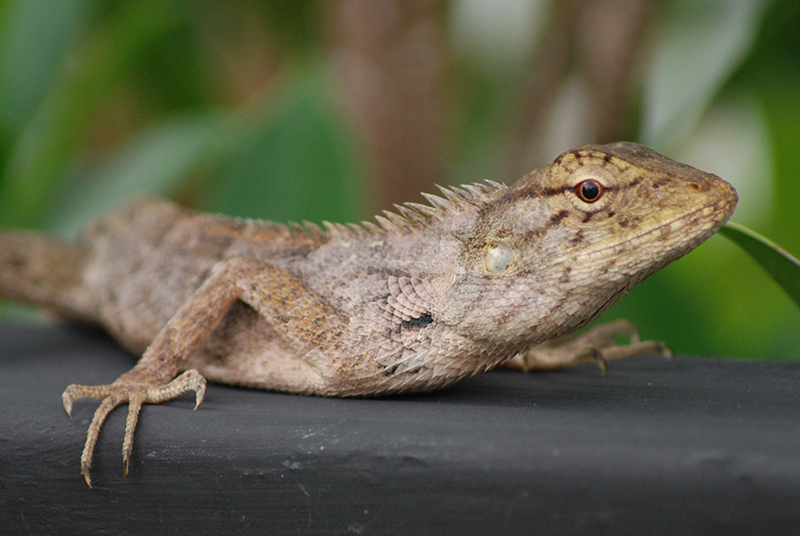 lizard_Kopfoben